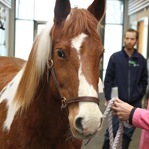 kastrering häst pris