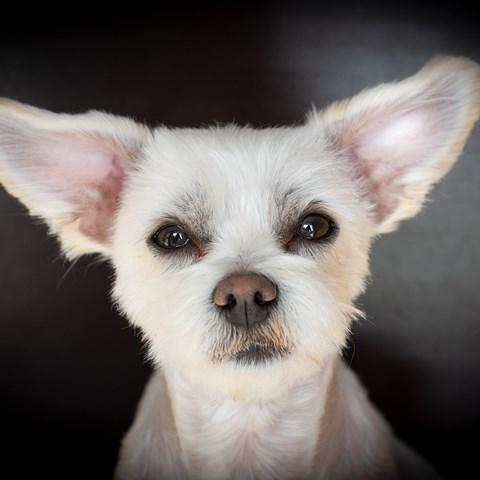 svamp i örat hund behandling